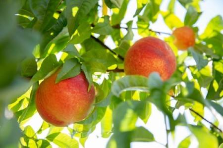 dry creek peaches